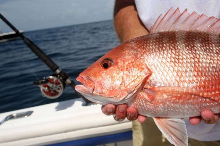 A fishermen holds up a red snapper